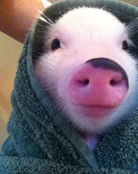 a pig in a blanket