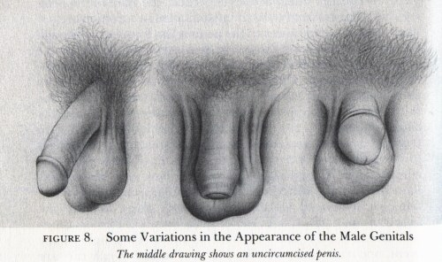 Masters and Johnson's images of the penis -2 cut, 1 intact