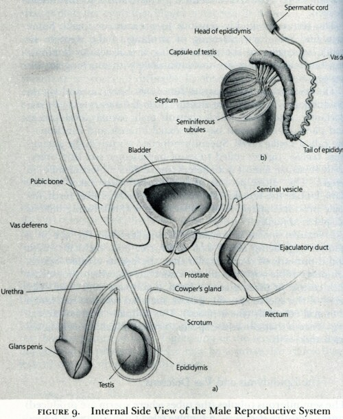 Masters & Johnson's image of a (circumcised) penis in cross-section