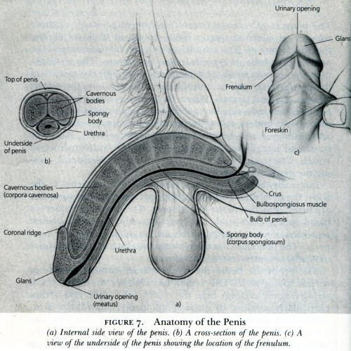 Masters & Johnson's ''Anatomy of the (circumcised) penis